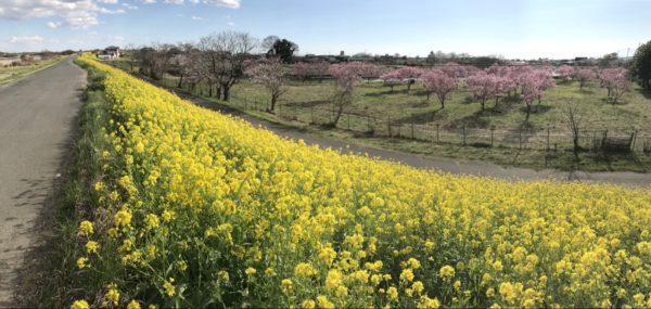 【菜の花】桜を見に行ったんだけど菜の花が圧倒的・茨城県・つくば市・小貝川の堤防