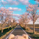 【空撮】桜 つくばサイクリングロード 茨城県