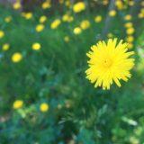 【タンポポ】緑と黄色いタンポポ