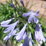 【紫の花】アガパンサス ブルーリリー 春から夏の花