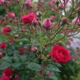 【ピンク花・バラ】道端に咲いていた