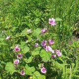 【紫の花】ウスベニアオイ