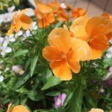 【黄色い花 オレンジの花】パンジー 色とりどり