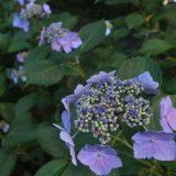 【紫の花】あじさい 森の中の紫陽花
