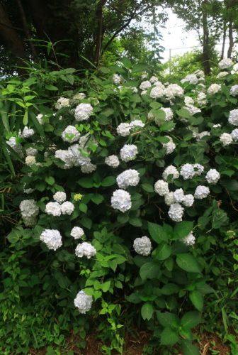 【白い花】アジサイ
