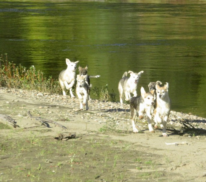 Puppy pack at the river 8-2020.
