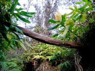Inside Kīlauea's Forest