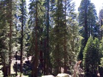 Trail of the Sequoias 13