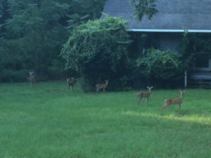A family of deer enjoying an evening snack in a Macon neighborhood. Photo by Jim Beall.