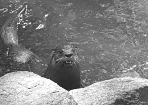 Otter at Daucet Trails