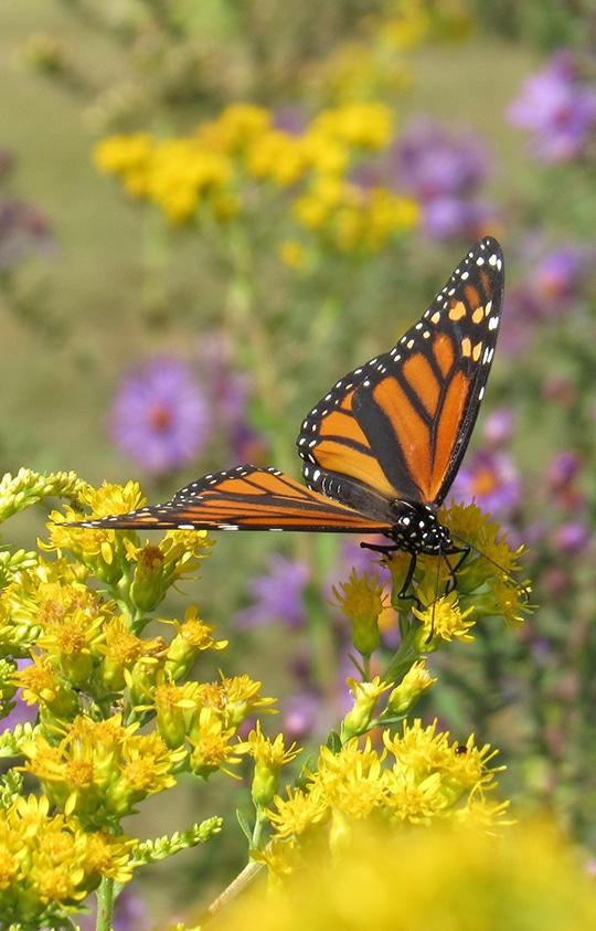 monarch butterfly on yellow flowers in a field