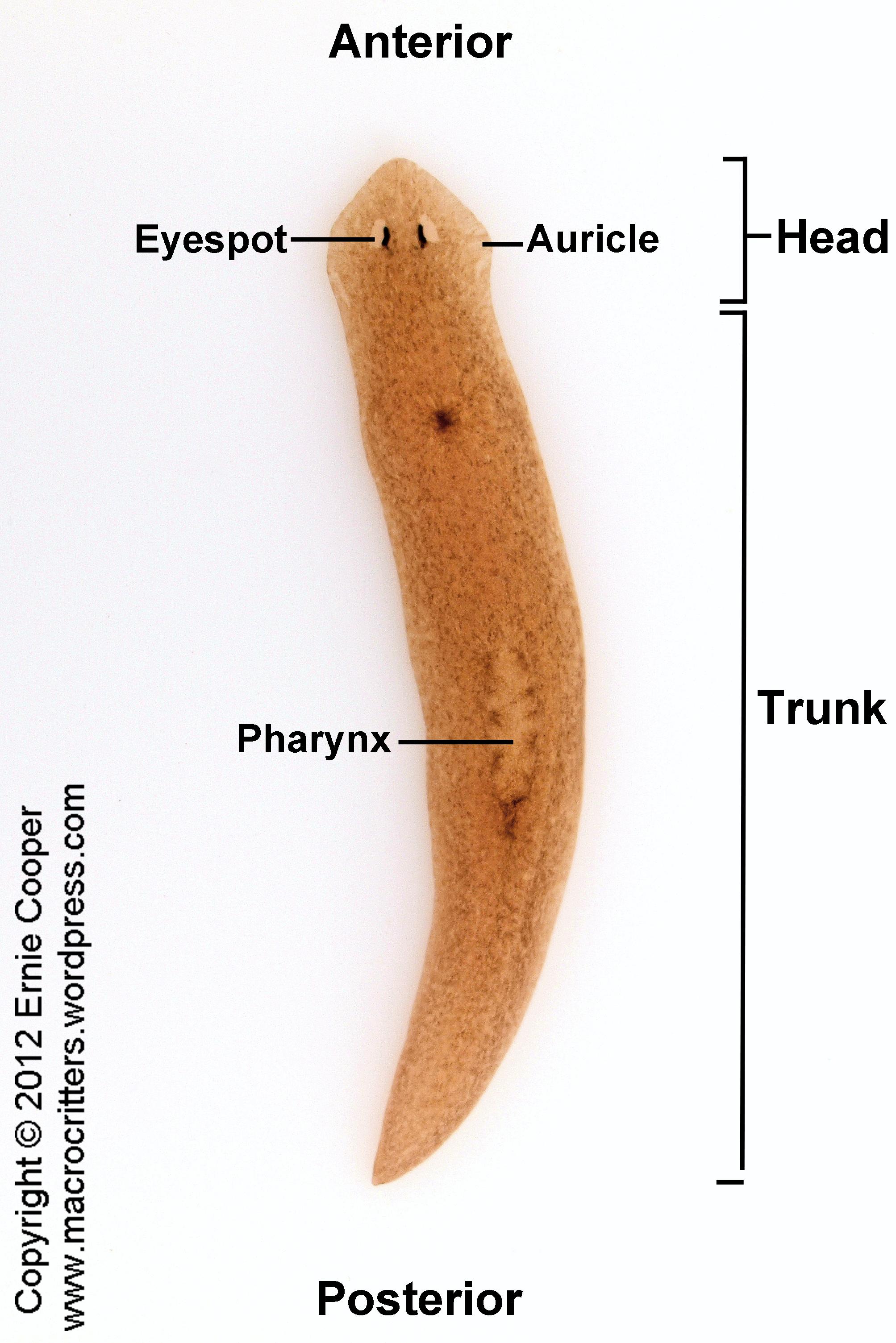 planaria  macrocritters