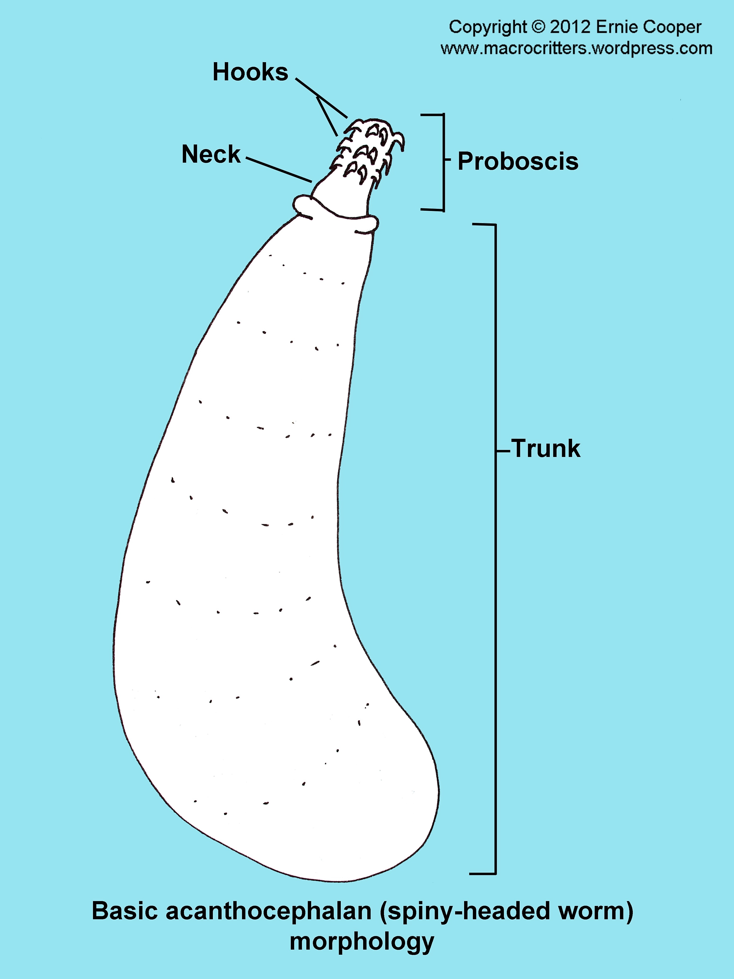 rotifer diagram labeled difference between circuit and wiring diagrams acanthocephalan