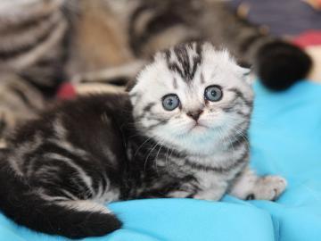 mliečna mačička striekať
