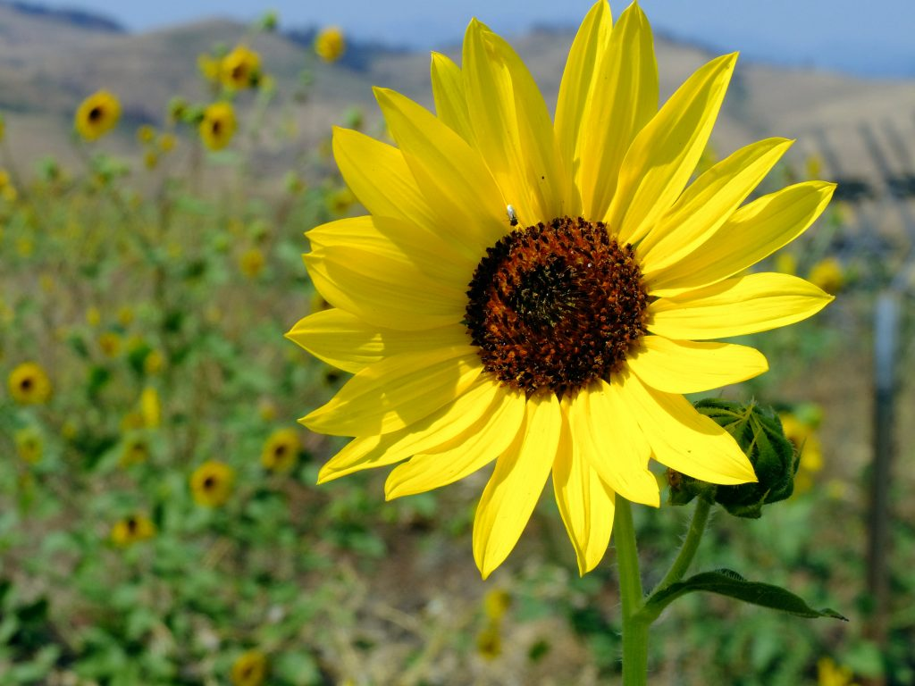 Sunflowers beside the road between Halfway and Richland