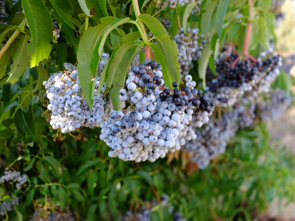 Blue Elderberries