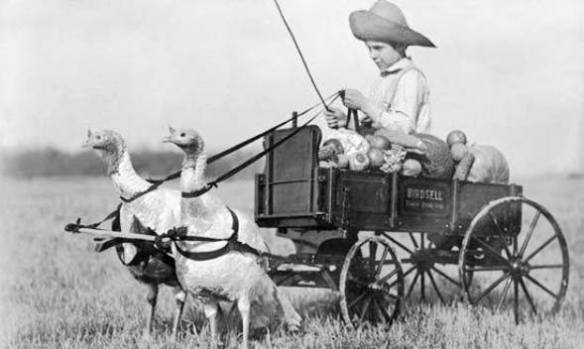 turkeys-pulling-cart