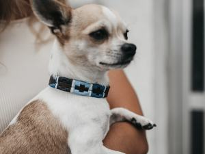 Collar Armando Chihuahua