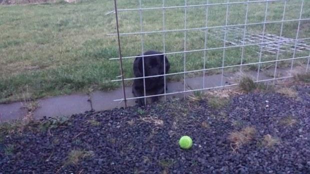 labrador-puppy-and-ball