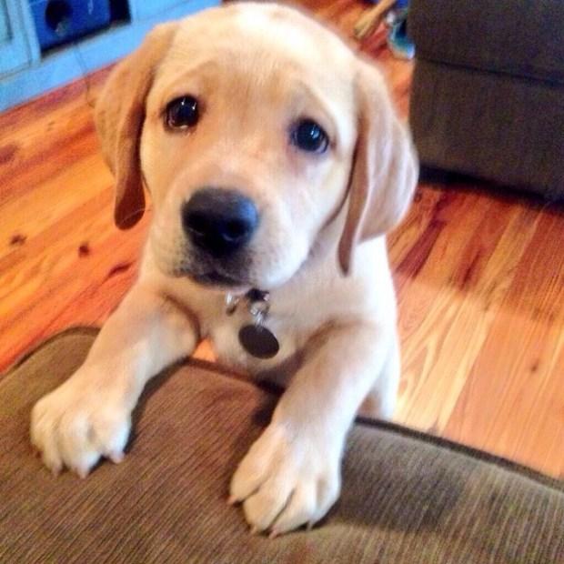 sad-lab-puppy