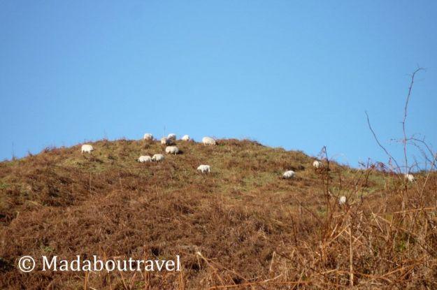 Ovejas en la cima de las colina