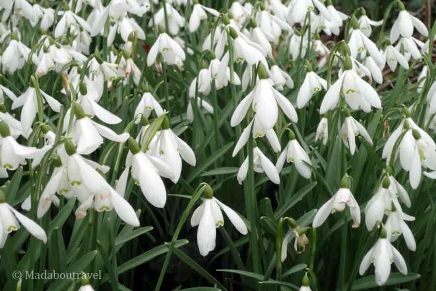 Snowdrops en la Abadía de Balmerino