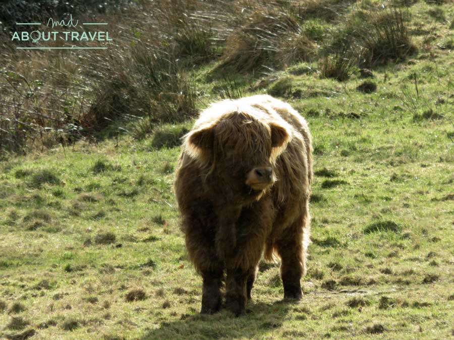 Vaca escocesa en el castillo de Brodick