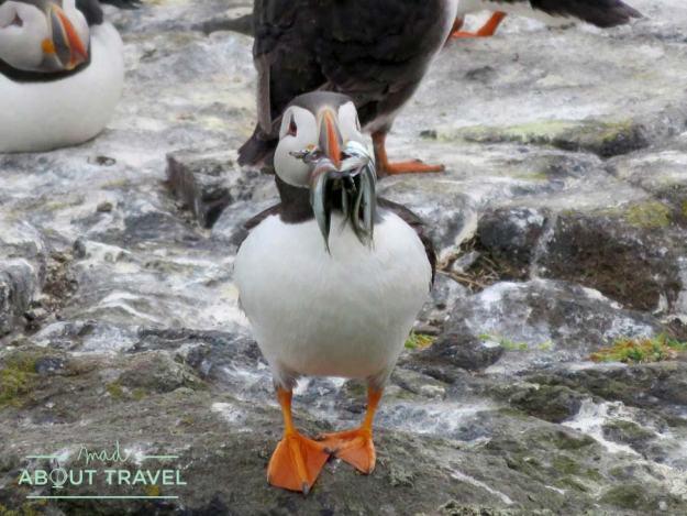 Un simpático frailecillo en la Isla de May en Escocia