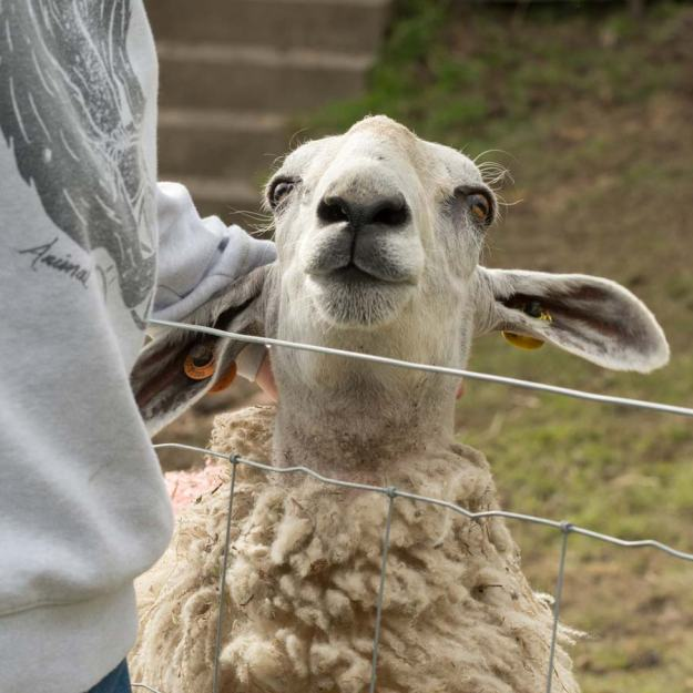 Oveja escocesa en Aberfoyle © Kay Roxby / Shutterstock.com