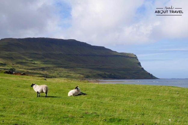 ovejas en ross of mull en la isla de mull