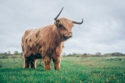 Vaca de las tierras altas de escocia. Foto de Jan Jakub Nanista / Unsplash