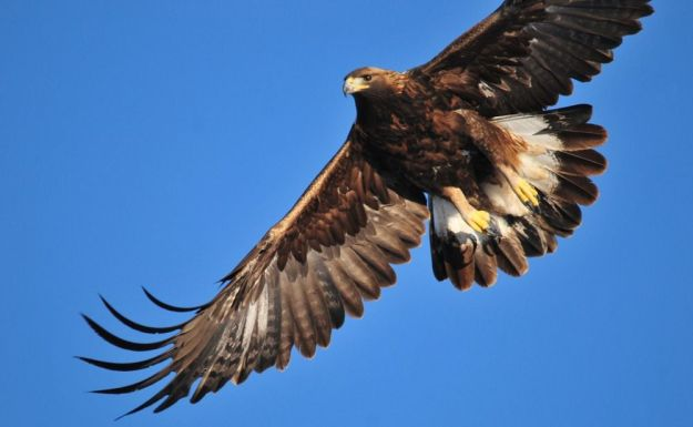 águila dorada en la isla de harris