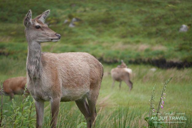 que ver en glencoe: ciervos