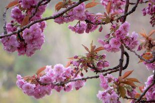 Edimburgo-cerezos-en-flor-princes-gardens-08