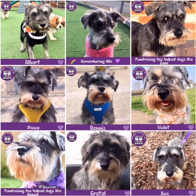 Rescued Schnauzers