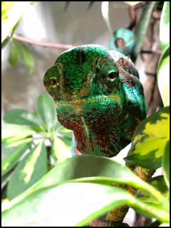 ambanja chameleon