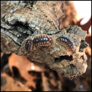Dubrovnik Isopods