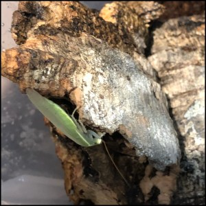 Giant Green Banana Roach