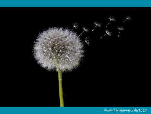 Fleur de pissenlit au vent