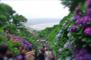 成就院 紫陽花と由比ガ浜