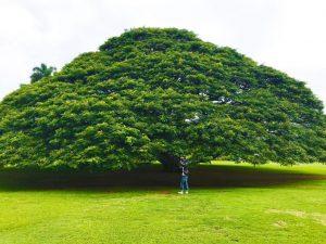 ハワイ 日立の木