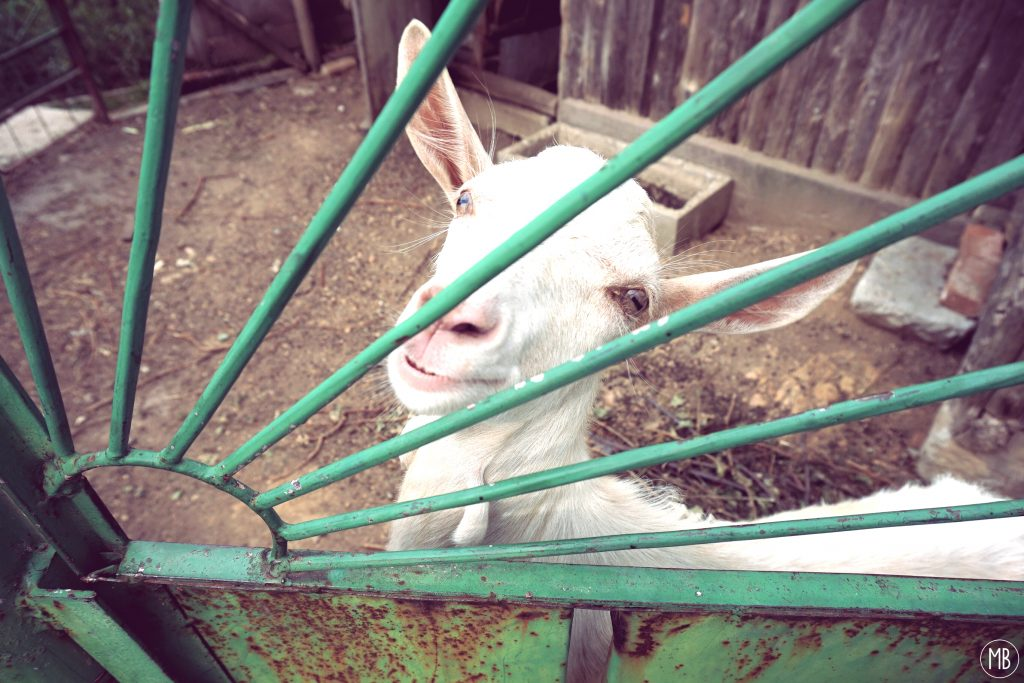 The very nice and so friendly goat of the neighbour :-)