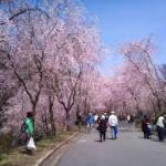 広島周辺2021お花見人気スポット開花時期とアクセス案内