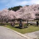 広島土師ダム(八千代湖)5500本の桜は圧巻!アクセス駐車場案内!