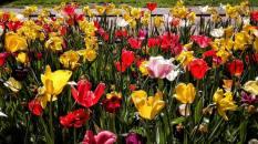 molens en tulpen (10)