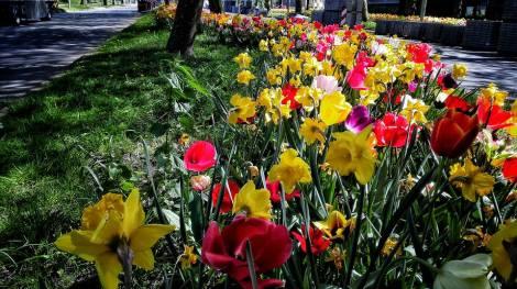 molens en tulpen (13)