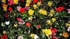 molens en tulpen (7)