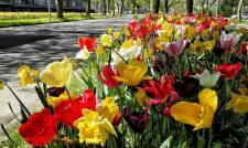 molens en tulpen (9)