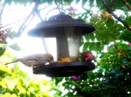 finches (2)