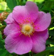 rose in the secret garden